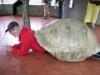 Galápagos-saarilla jättiläiskilpikonnan kilven sisällä (2010)